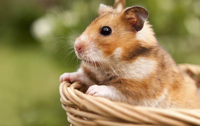 Der Hamster – Verhalten und die richtige Haltung