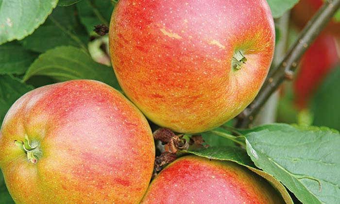 Wie werden Kernobstbäume wie Apfel und Birne richtig geschnitten?