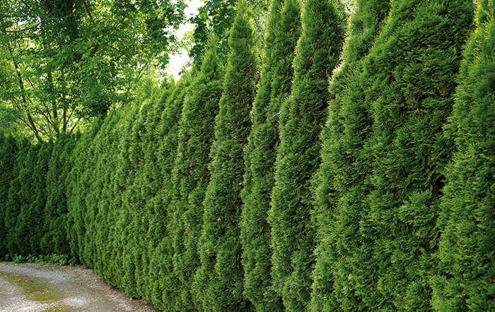 Anleitung zur richtigen Bepflanzung einer Hecke
