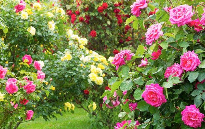 Jetzt werden die Rosen gestutzt