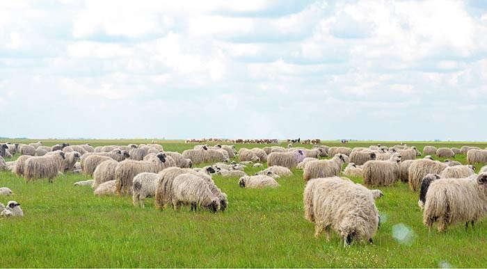 Verarbeitung von Schurwolle: Wie sich Schurwolle weiterverarbeiten lässt