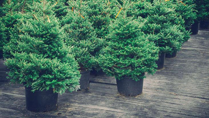 Verschiedene Weihnachtsbaumarten