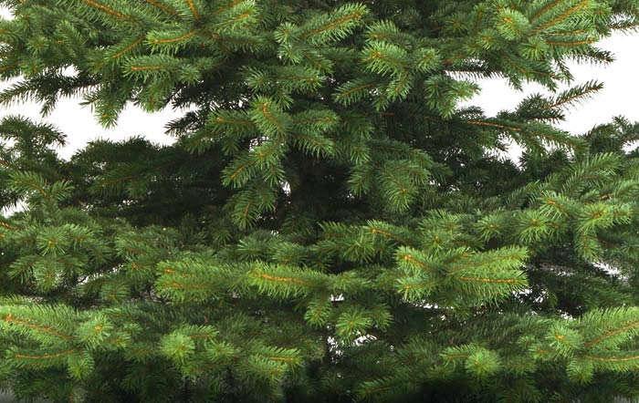 Was gibt es beim Kauf vom Weihnachtsbaum zu beachten