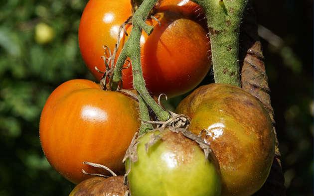 Das hilft gegen die Kraut- und Braunfäule bei Tomaten